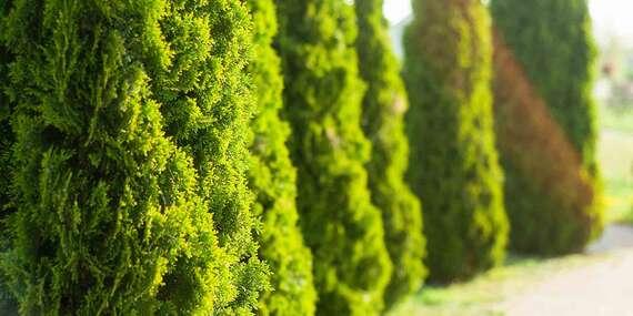Tuje Smaragd – odolné stromčeky do vašej záhrady/Slovensko