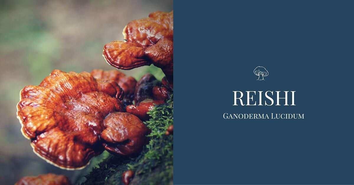 Reishi - huba večnej mladosti vo forme prášku alebo tabliet (dopra...