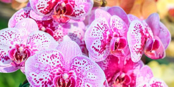 Výstava orchideí atillandsií vo Viedni/Rakúsko - Viedeň